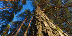 Tall - Stora Enso Skog