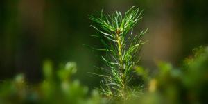 Granplanta - Stora Enso Skog