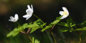 Blommor - Stora Enso Skog