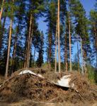 Ris - Stora Enso Skog