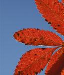 Röda löv - Stora Enso Skog