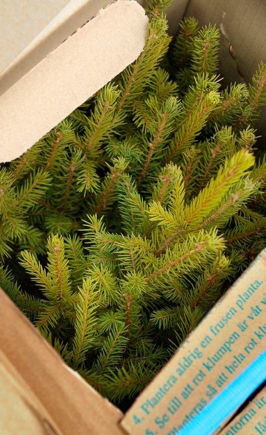 Plantor - Stora Enso Skog