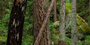 Skog - Stora Enso Skog