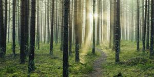 Skog i motljus, mossa, stig