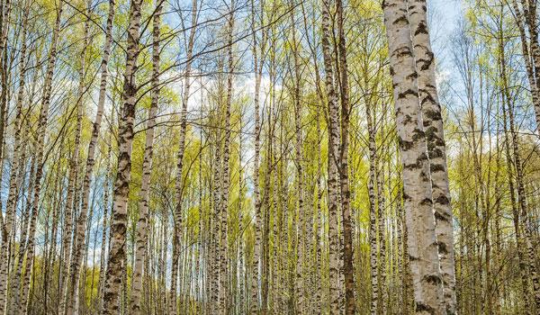 Vi borde behandla traden och skogen battre