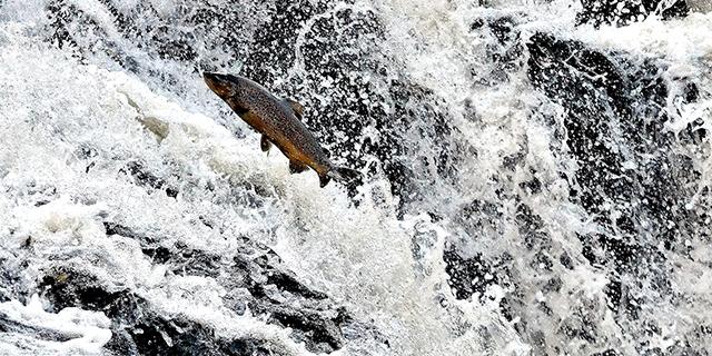 Nu arbetar lokala aktörer tillsammans för att återställa vattenmiljöerna då man har konstaterat att havsöring, flodpärlmussla och andra vattenlevande arter har minskat drastiskt de senaste decennierna.