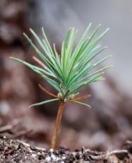 planta_stora_enso_skog