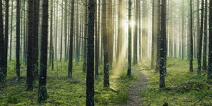 skog_stora_enso_skog